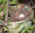 2006_dove_eggs_in_nest_2