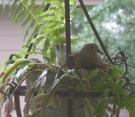 2006_dove_on_nest_3