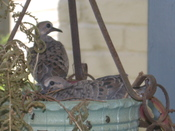 Baby_doves_1