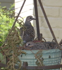 Baby_doves_3